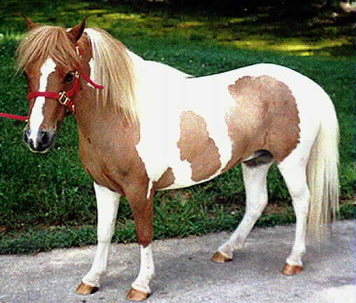 http://www.equides.free.fr/chevaux/robes/falabella.jpg
